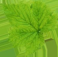 leaf-front